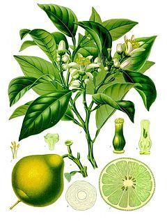 240px-Citrus_bergamia_-_K+ÂhlerÔÇôs_Medizinal-Pflanzen-184